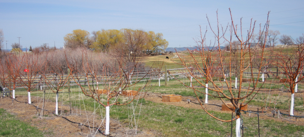 orchard at Whitehall research site